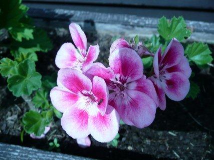 FOTKA - Růžový muškát 5