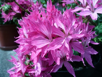 FOTKA - Růžový muškát 6