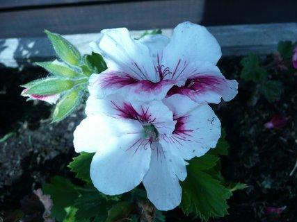 FOTKA - Bílý s fialovým středem
