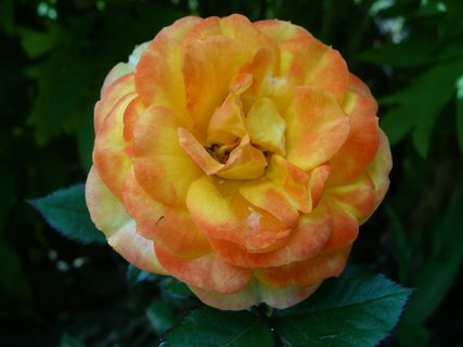 FOTKA - Oranžová růžička