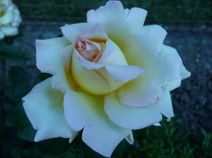 FOTKA - Žlutá růže 1