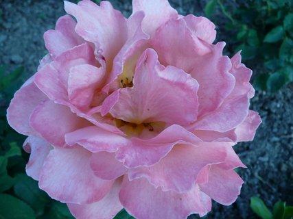 FOTKA - Růžová růže 2
