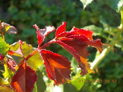FOTKA - 20 - 21.7. - 20 - za ranní rosy, kapičky krásně drží na listech