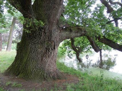 FOTKA - nádherný dub v lednickém zámeckém parku