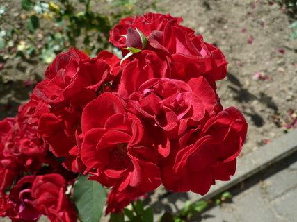 FOTKA - růžičky při cestě