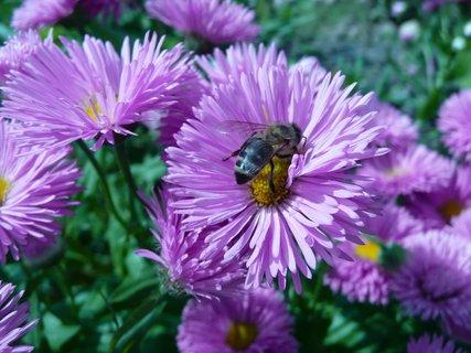 FOTKA - Fialové s včelkou