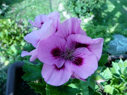 FOTKA - Růžový muškát 10