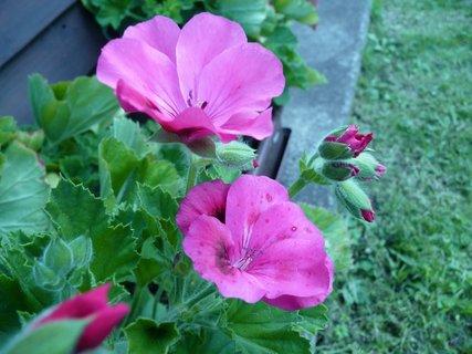 FOTKA - Růžový muškát 11