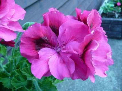 FOTKA - Růžový muškát 12