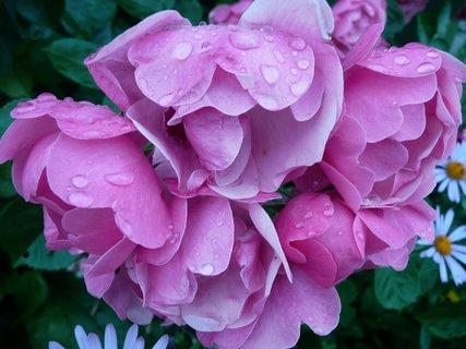 FOTKA - Růžové růžičky 3