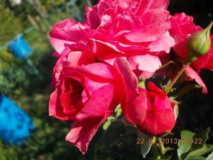 FOTKA - 22 - 23.7. - 12 - krása růžová