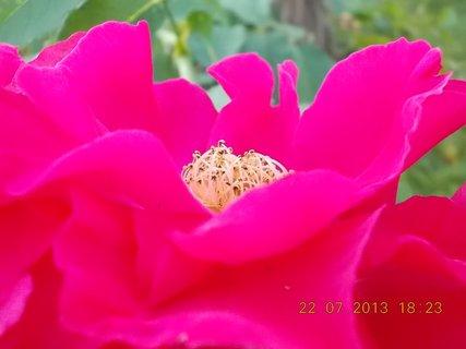FOTKA - 22 - 23.7. - 13 - krása růžová