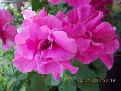 FOTKA - 22 - 23.7. - 19 - krásné květy Petunií