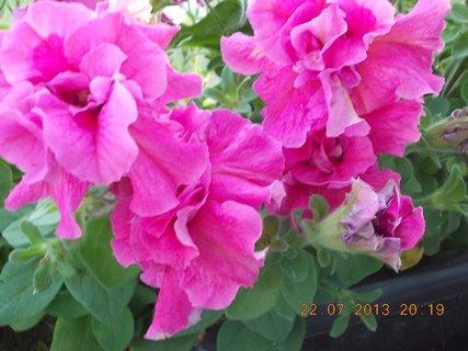 FOTKA - 22 - 23.7. - 20 - krásné květy Petunií