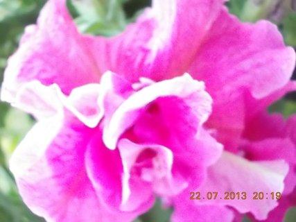 FOTKA - 22 - 23.7. - 21 - krásné květy Petunií