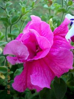 FOTKA - 22 - 23.7. - 22 - krásné květy Petunií