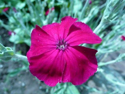 FOTKA - Růžové kvítky 5