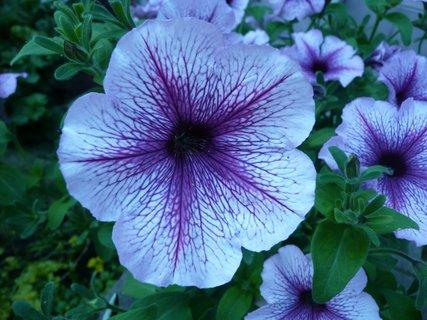 FOTKA - Modrá petunie
