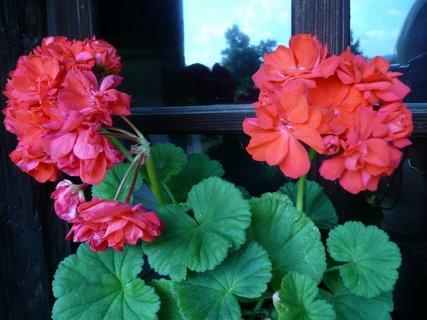 FOTKA - Rudé muškáty na okně
