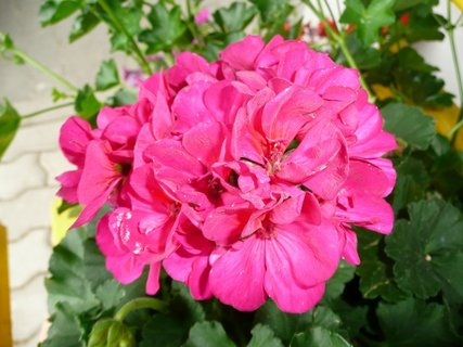 FOTKA - Růžový muškát