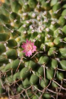 FOTKA - prvn� kv�t na kaktusu