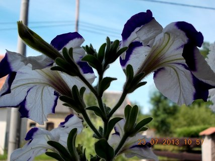 FOTKA - Petunie za oknem v truhlíku - 15