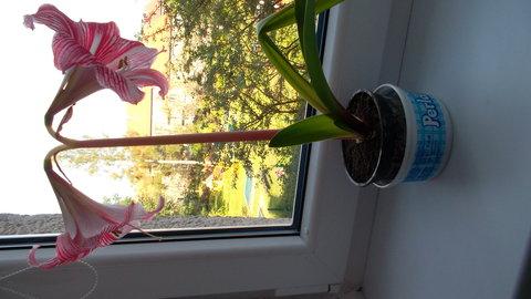 FOTKA - amarilis za oknem