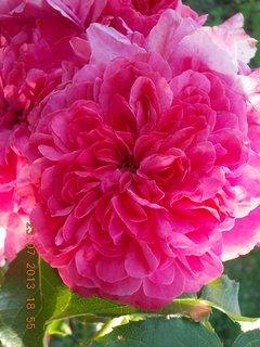 FOTKA - 23+ 24.7 - 2 - kolik má asi lístečků na květu