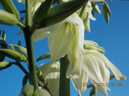 FOTKA - 23+ 24.7 - 3 - krásné zvonečky na Juce
