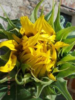 FOTKA - 23+ 24.7 - 11 - poupě slunečnice