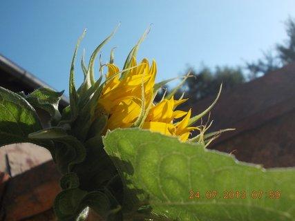 FOTKA - 23+ 24.7 - 12 - poupě slunečnice