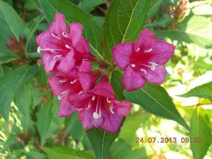 FOTKA - 23+ 24.7 - 15 - už květů moc nemá Wiegela, končí letos