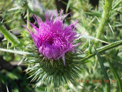 FOTKA - 23+ 24.7 - 20 - i květ bodláku je krásný