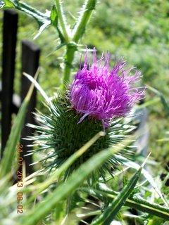 FOTKA - 23+ 24.7 - 21 - i květ bodláku je krásný