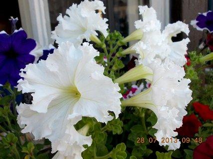 FOTKA - 28.července - 3 - bílé Petunie jsou nejhezčí