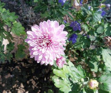 FOTKA - Chryzantéma...
