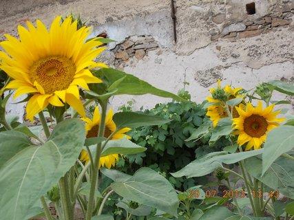 FOTKA - 28 - 30.7. - 12 -  slunečnice