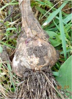 FOTKA - 28 - 30.7. - 25 - jeden jediný česnek, ostatní zařvalo díky ne-jaru