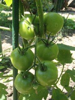 FOTKA - rajčiny ešte zelené