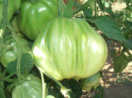 FOTKA - Nezvyklý tvar rajčat,,