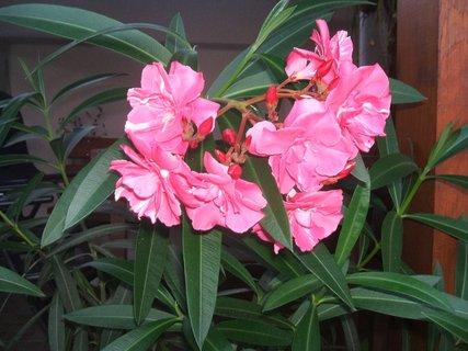 FOTKA - Květ oleandru
