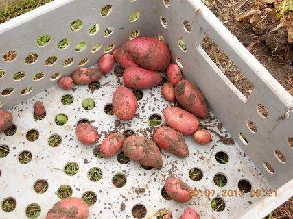 FOTKA - 30. července - 1 - vyndala jsem brambory
