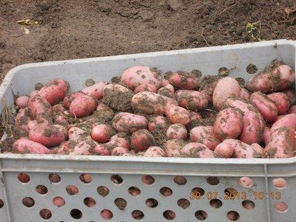FOTKA - 30. července - 5 - moje brambory