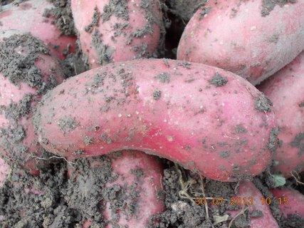 FOTKA - 30. července - 6 - moje brambory