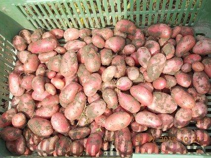 FOTKA - 30. července - 7 - moje brambory