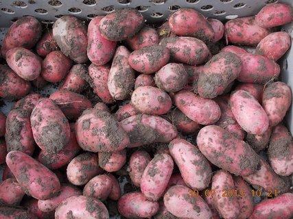 FOTKA - 30. července - 8 - moje brambory