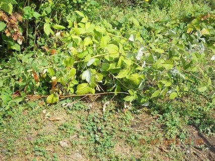 FOTKA - 30. července - 24 - polehlé maliní od lijáku