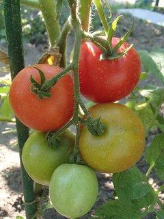 FOTKA - rajčiny už dozrievajú