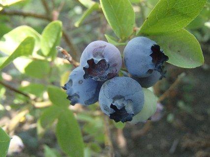 FOTKA - záhradné čučoriedky
