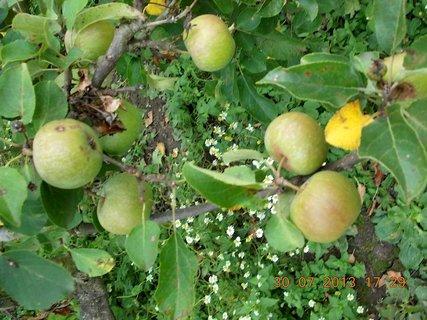FOTKA - 18 - 30.7 - rostou jablíčka, rostou, ale moc jich letos nebude